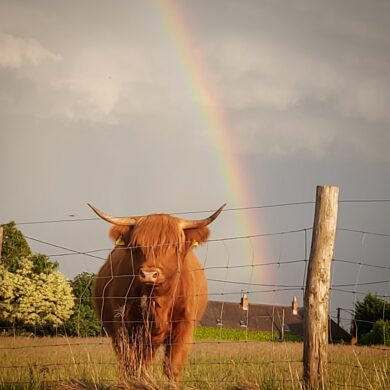 Highland cow looking over the fence with a rainbow behind