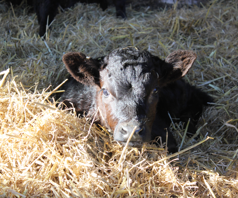 Close up of Calf in Hay