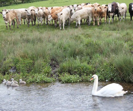 Cows looking at swans in the stream