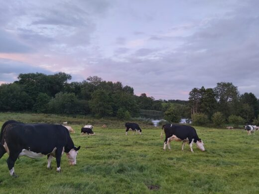 cows grazing in the fields around the cottages