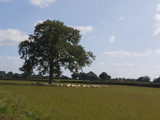 sheep sheltering from the sun under an oak tree